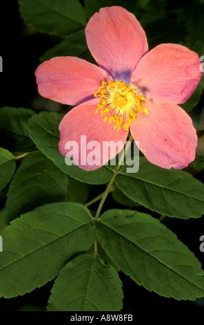 Stachelige Rose Rosa Acicularis Denali Nationalpark, Alaska - Stockfoto