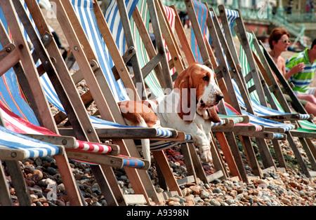 Basset Hound Aalen in der Sonne auf einem Liegestuhl am Strand von Brighton seafront - Stockfoto