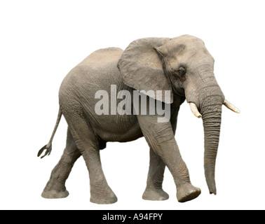 Afrikanischer Elefant Loxodonta Africana Bull Sabi Sand Game Reserve Mpumalanga in Südafrika - Stockfoto