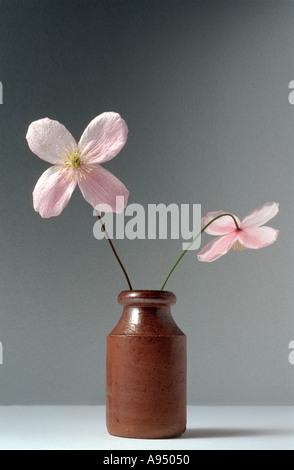 Zwei Clematis Montana Rubens-Blumen in einem kleinen Topf - Stockfoto