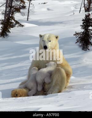 Polar Bär Mutter Pflege junger jungen Manitoba Kanada - Stockfoto