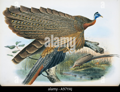 Argusianus Argus Grayi große Argus - Stockfoto