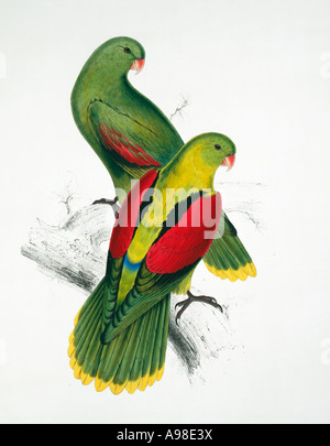 Aprosmictus Erythropterus rote geflügelte Papagei - Stockfoto