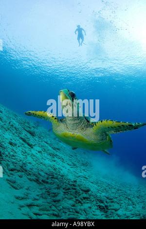Schnorchler Uhren eine grüne Meeresschildkröte (Chelonia Mydas) auf der Insel Bonaire, Niederländische Antillen - Stockfoto