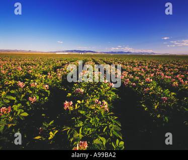 Landwirtschaft - ein Bereich der Reifung Kartoffel Pflanzen in voller Blüte mit ein Zentrum-Pivot-Bewässerung-System - Stockfoto