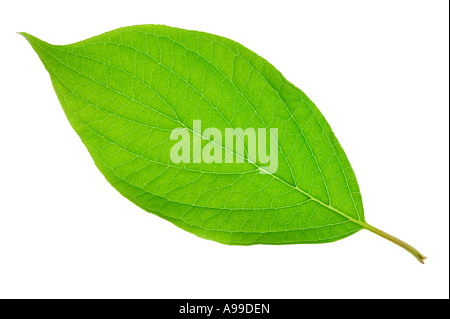 Detaillierten Makroaufnahme von einem grünen Blatt isoliert auf weiss - Stockfoto