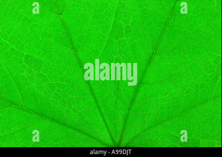 Detaillierten Makroaufnahme von einem grünen Blatt - Stockfoto