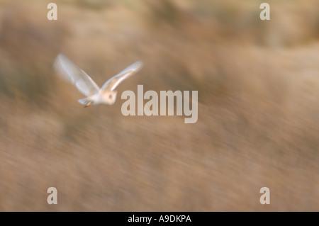 Schleiereule Tyto Alba Erwachsenen Jagd Hickling breiten Norfolk England Februar langsame Verschlusszeit - Stockfoto