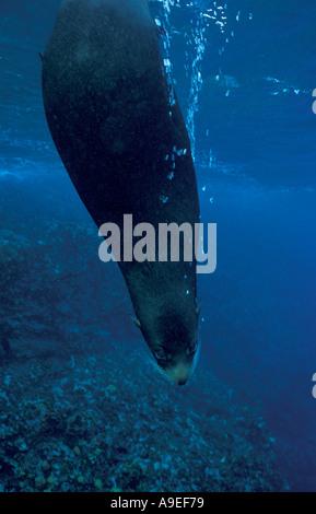 GALAPAGOS-SEA LION ZALOPHUS CALIFORNIANUS WOLLEBACKI GALAPAGOS-INSELN - Stockfoto