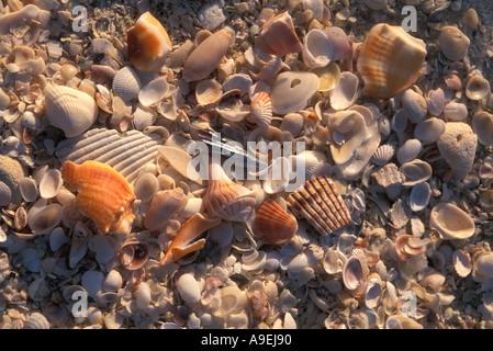 Florida Vereinigte Staaten von Amerika USA Beschuss Sanibel Island Muscheln am Strand - Stockfoto