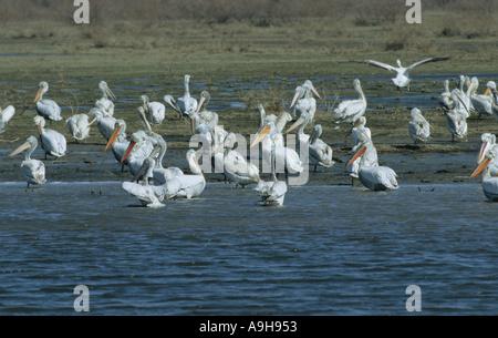 Dalmatinische Pelikan Pelecanus Crispus Gruppe ruhenden Evros-Delta-Griechenland - Stockfoto
