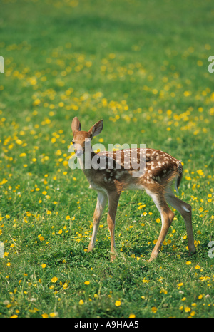 White-tailed Deer Odocoileus Virginianus sieben Tage altes Rehkitz im Bereich der Butterblumen - Stockfoto