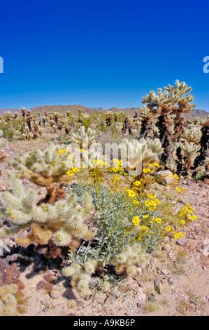 Bigelow Cholla und Brittlebush bei Cholla Cactus Garden in Pino Becken Joshua Tree Nationalpark Kalifornien - Stockfoto
