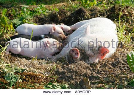 minischwein zwergschwein miniatur schwein mini pig hausschwein stockfoto bild 15386328 alamy. Black Bedroom Furniture Sets. Home Design Ideas