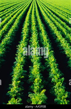 Landwirtschaft - Reifen Reihen von gesunden Karotten im Bereich / in der Nähe von Portage la Prairie, Manitoba, - Stockfoto