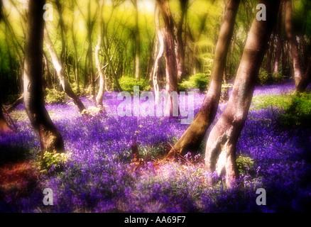 Glockenblumen im Wald - Stockfoto