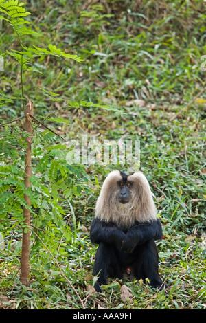 Indien Kerala Trivandrum zoologischen Gärten Lion tailed Macaque Macaca silenus.2006 - Stockfoto