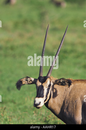 Bildnis des Fringe eared Oryx Salt Lick Heiligtum in der Nähe von Tsavo West Nationalpark Kenia in Ostafrika - Stockfoto