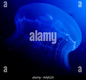 Mond Qualle Aurelia Golden Drifts anmutig im blauen Wasser ernähren sich von plankton - Stockfoto