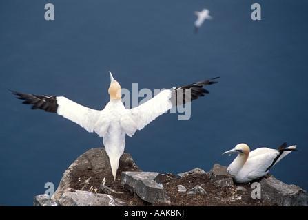 Basstölpel paar Morus Bassanus Saint Mary s Neufundland Kanada - Stockfoto