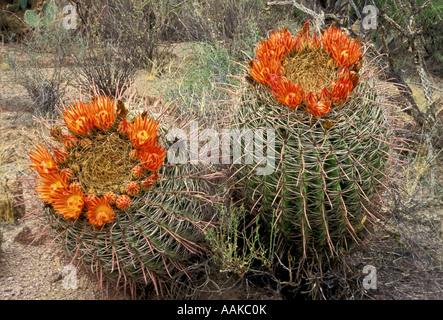 Blühende Fisch Haken Barrel Cactus Saguaro Nationalpark West Tucson Arizona - Stockfoto