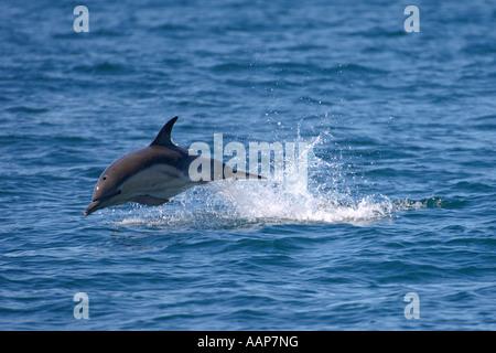 Kurzer Schnabel gemeinsamen Delphin Delphinus Delphis verletzt in der Nähe von Insel Coll Schottland Juni - Stockfoto