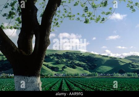 Mandelbaum und Blumenkohl Feld Salinas Valley in Kalifornien - Stockfoto