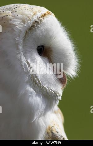 Schleiereule (Tyto Alba), Nahaufnahme von Kopf, Hintergrundbeleuchtung, Gefangenschaft - Stockfoto