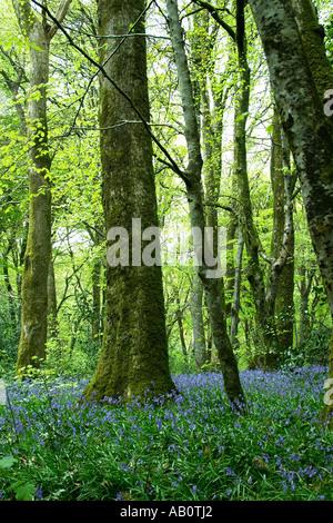 Glockenblumen in Wäldern North Wales, Vereinigtes Königreich - Stockfoto