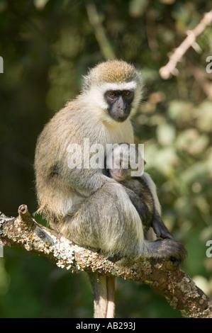 Weibliche Vervit Affe und ihr Baby sitzen im Baum außerhalb Lewa Wildlife Conservancy Nord Kenia Afrika - Stockfoto