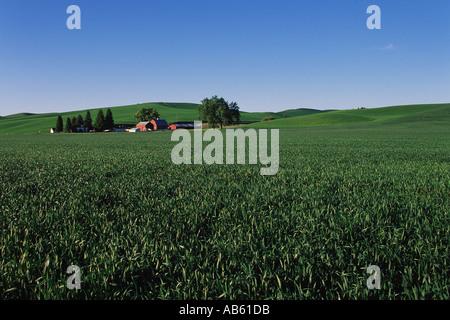 Grüne Feder Weizenfeld mit Bauernhaus und rote Scheune Palouse Valley Palouse Washington USA - Stockfoto