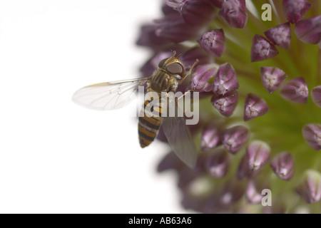 Hoverfly auf Allium Blume - Stockfoto