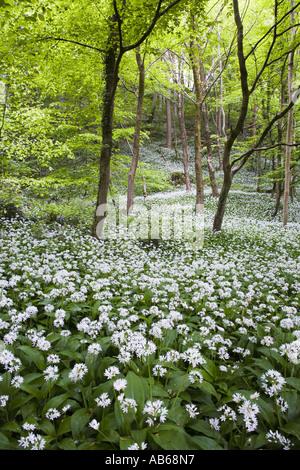 Wilder Knoblauch oder Ramsoms Allium Ursinum in Blüte in schattigen Wäldern Wales UK - Stockfoto