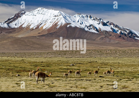 Vikunjas Weiden auf einer Bofedal vor Cerro de Quisiquisini (5518 m) Volcanoe, Nationalpark Lauca, Chile - Stockfoto