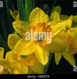 Eine Narzisse Blüte Narcissus sp mit Wassertropfen - Stockfoto