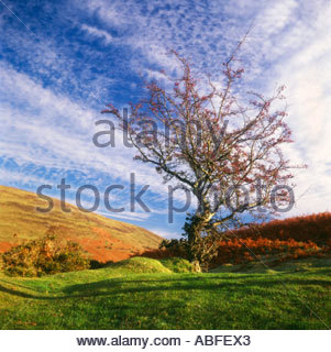 Hawthorn Tree (Rosa moschata) im Herbst Landschaft in den Brecon Beacons National Park, Powys Wales UK. - Stockfoto