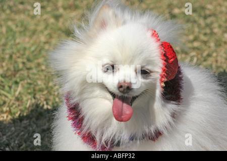 Kleine weiße flauschige Doig mit kleinen roten Hut scheint zu Lächeln - Stockfoto