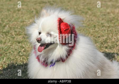 Kleine weiße flauschiger Hund mit kleinen roten Hut scheint zu Lächeln - Stockfoto