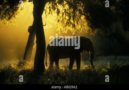 Silhouette gegen goldenes Licht Mana Pools Nationalpark Simbabwe Afrika Elefant - Stockfoto