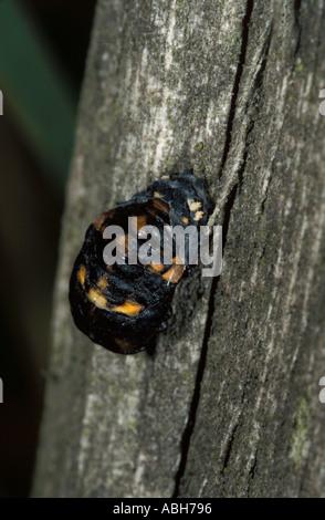 7 Spot Ladybird Puppen auf Holz - Stockfoto