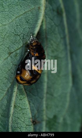 7 Spot Ladybird Puppen auf Blatt - Stockfoto