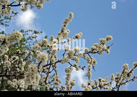 Blackthorn Blüte (Prunus Spinosa) West Sussex, UK. Europa - Stockfoto