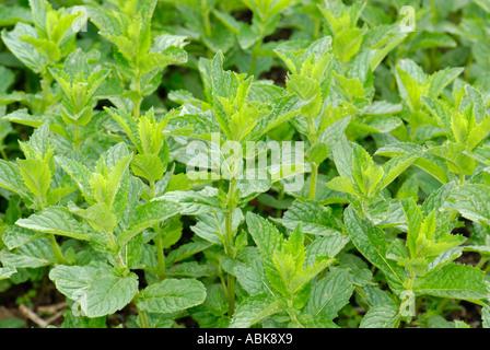 grüne Minze Pfefferminze MENTHA PIPERITA fresh LAMIACEAE Mentha X PIPERITA L Pfeffer Minze - Stockfoto