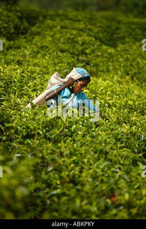 Tee Watawala Entnahmebereich in der Nähe von Hatton zentrale Provinz Sri Lanka Asien - Stockfoto