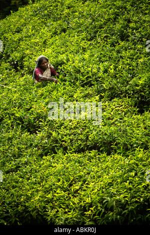 Tee, Kommissionierung, Watawala Bereich in der Nähe von Hatton Central Province, Sri Lanka, Asien - Stockfoto