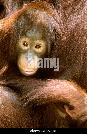 Orang-Utan junger Pongo pygmaeus - Stockfoto