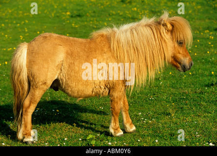 Miniatur-SHETLAND-PONY-Hengst - Stockfoto