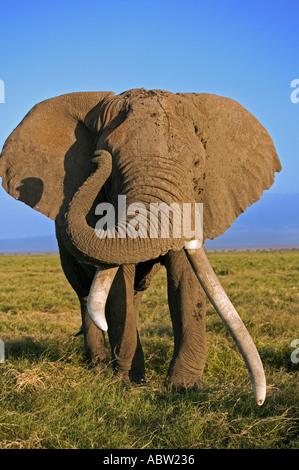Afrikanischer Elefant Loxodonta Africana Elefantenbulle mit großen Stoßzähne Amboseli Nationalpark Kenia Dist Sub - Stockfoto