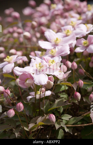 Clematis Montana Rubens Blüte im Haushalt Garten Wales UK - Stockfoto