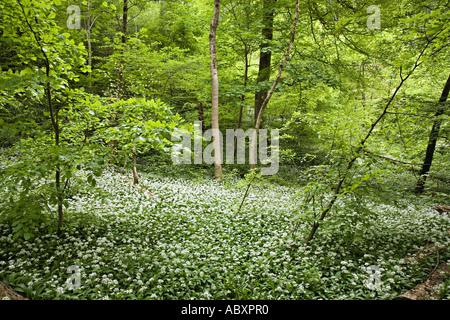 Wilder Knoblauch oder Ramsoms Allium Ursinum in Blüte in schattigen Wäldern in der Nähe von Cardiff Wales UK - Stockfoto